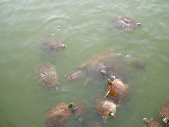 Begging Turtles